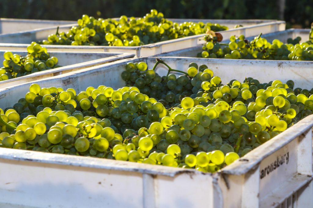 Saronsberg Grapes